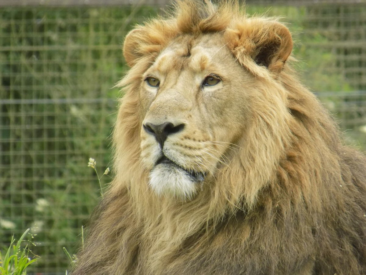 Lion Wildlife Zoology One Animal Nature Beauty In Nature
