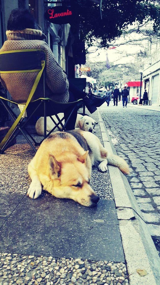 Foca Dog Husky Firefox Relaxing Izmir Turkey Türkiye Street Chair