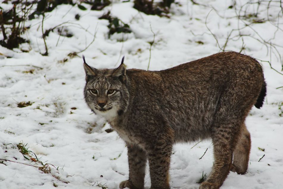 Snow One Animal Winter Animal Themes Animals In The Wild Cold Temperature Animal Wildlife Nature Outdoors Portrait Sony A-68 Beauty Beauty In Nature Winter Day Animals In The Wild Nature Lux Big Cat Luchs