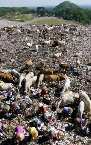 Abundance Animal Animal Themes Arid Climate Cattle Day Domestic Animals Dumping Dumping Rubbish Environment Garbage Health Landfill Large Group Of Objects Livestock