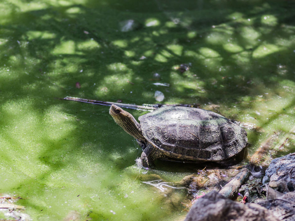 Marsh turtle crawled out of the water and basking in the sun Animal Calculus Concretions Crawling Creepily Day Early Earthen Earthy Gum Nature No People Outdoors Rareripe Rathen Reptilien Rock Scale  Soon Testudinate Testudo Tortoise Tortoiseshell Turtle Wildlife