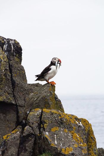 Rock - Object Animals In The Wild Bird Animal Wildlife Day Nature Outdoors Puffins Puffin One Animal Perching Animal Themes No People Sea Clear Sky Beauty In Nature Sky Water