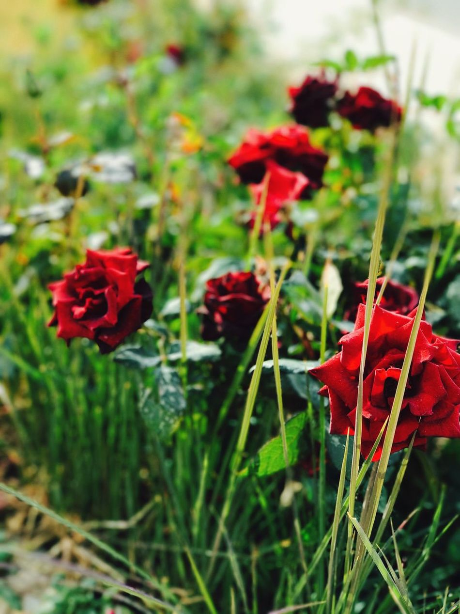 Flower Red Growth Beauty In Nature Nature Freshness Fragility Blooming Petal Plant Flower Head No People Outdoors Day Close-up First Eyeem Photo