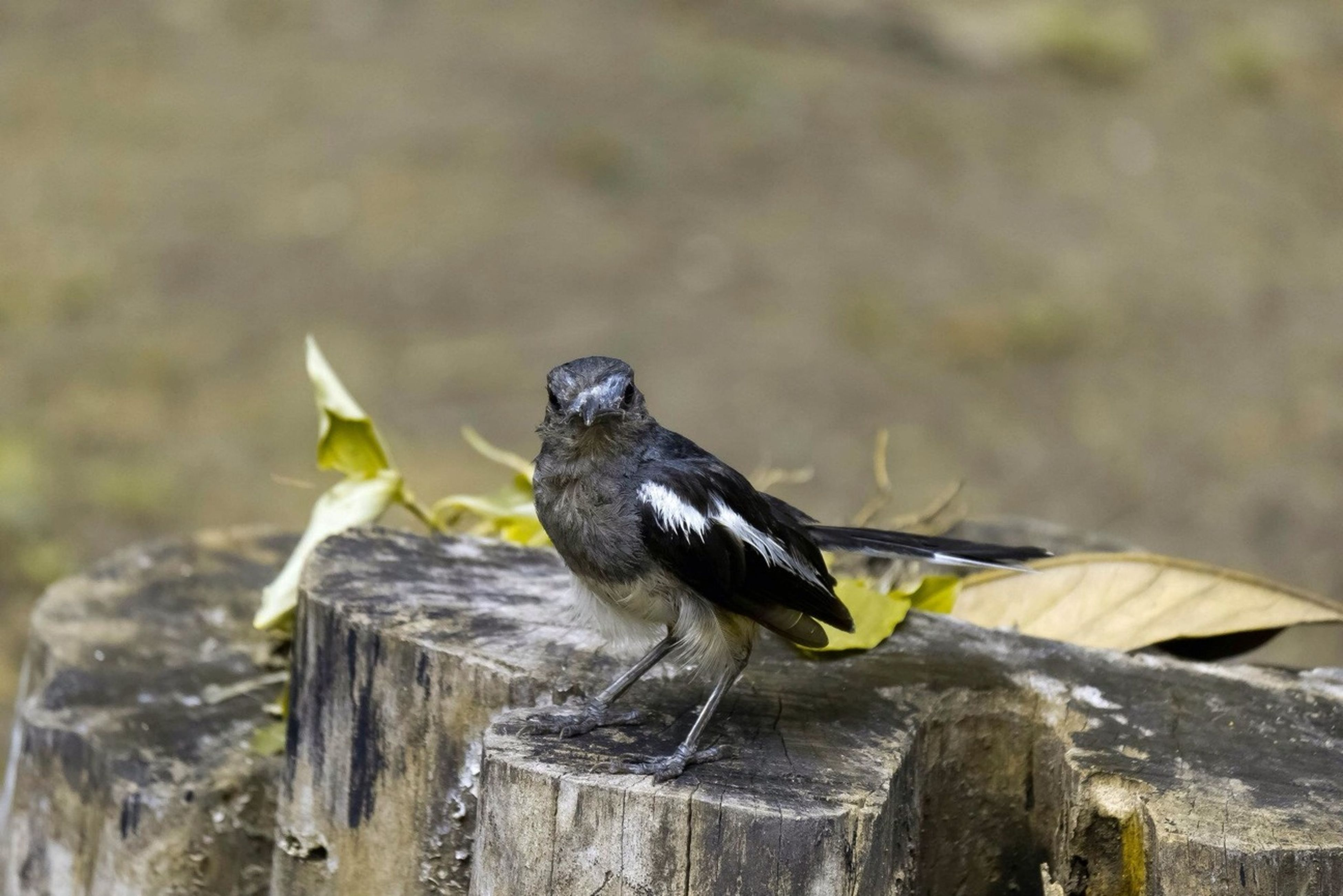 bird, animal themes, animals in the wild, one animal, wildlife, perching, focus on foreground, full length, close-up, nature, wood - material, outdoors, day, side view, no people, pigeon, beak, black color, beauty in nature, selective focus
