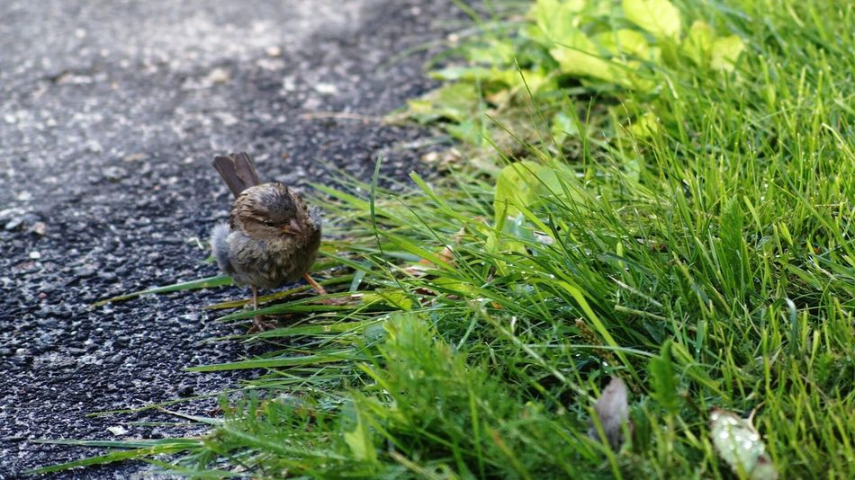 Hagalund Sweden Solna EyeEm Birds Animals House Sparrow Showcase August Colour Of Life Rainy Days August 2016 Niklas Finding New Frontiers Adapted To The City