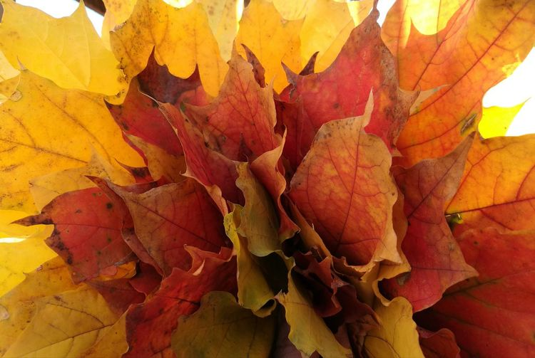 A bunch of autumn leaves - a kid's collection Autumn Multi Colored Nature No People Outdoors Close-up Day Plane Tree Autumn Colours, United Colours Of Nature Colours Of Nature Colours Of Autumn Leaves🌿 Leaves 🍁 Beauty In Nature Autumn Leaf Pastel Colours Nature Leaves_collection Plane Leaves In Autumn Sunlight