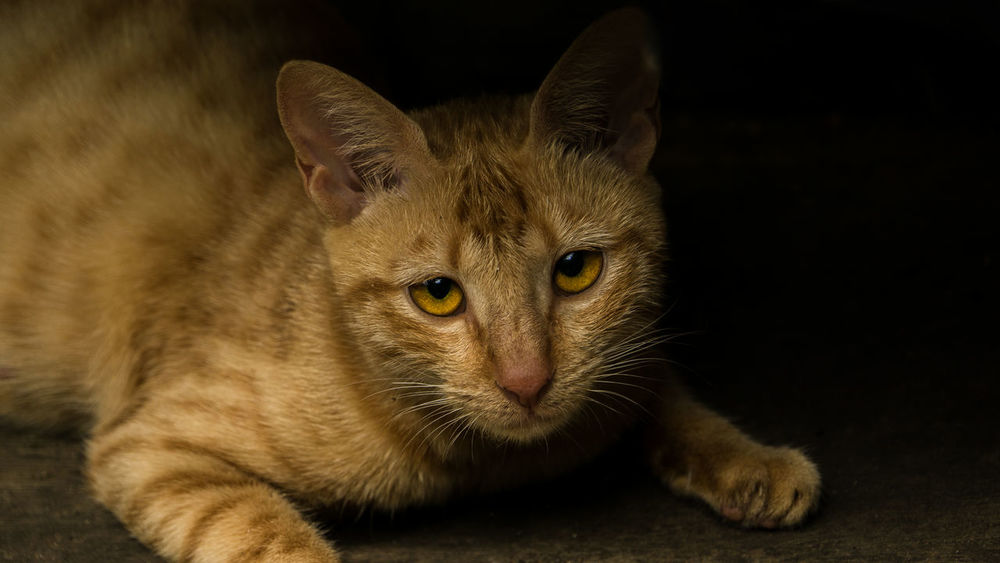 Sad looking yellow cat Sad Eyes Animal Themes Cat Lovers Close-up Cute Animal Domestic Animals Domestic Cat Feline Female Indoors  Looking At Camera Mammal No People One Animal Pets Portrait Pretty Animal Whisker Yellow Cat