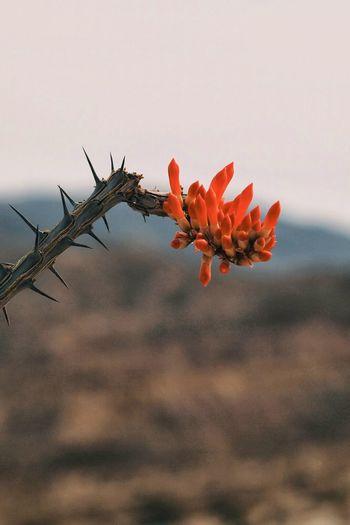 Ocotillo Badlands Flowers Desert