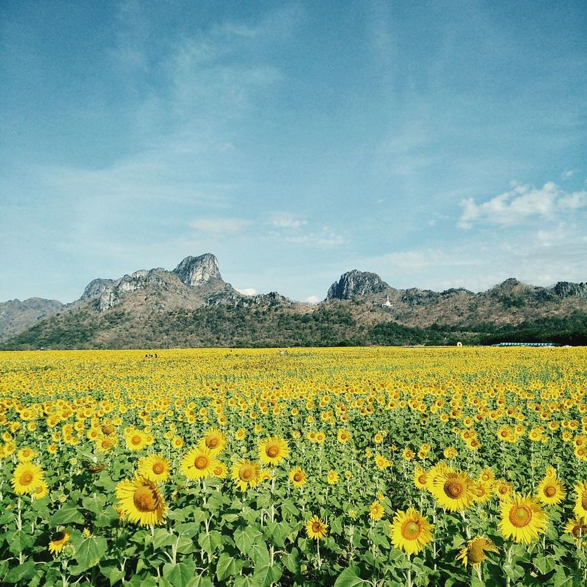 Thailand Flower Yellow Agriculture Oilseed Rape Growth Rural Scene Nature Beauty In Nature Farm Crop  Field Springtime Cultivated Plant Abundance Landscape Scenics Blossom Fragility Sky Sunflower Sunflowers🌻 Sunflowers Sunfllowers BYOPaper!