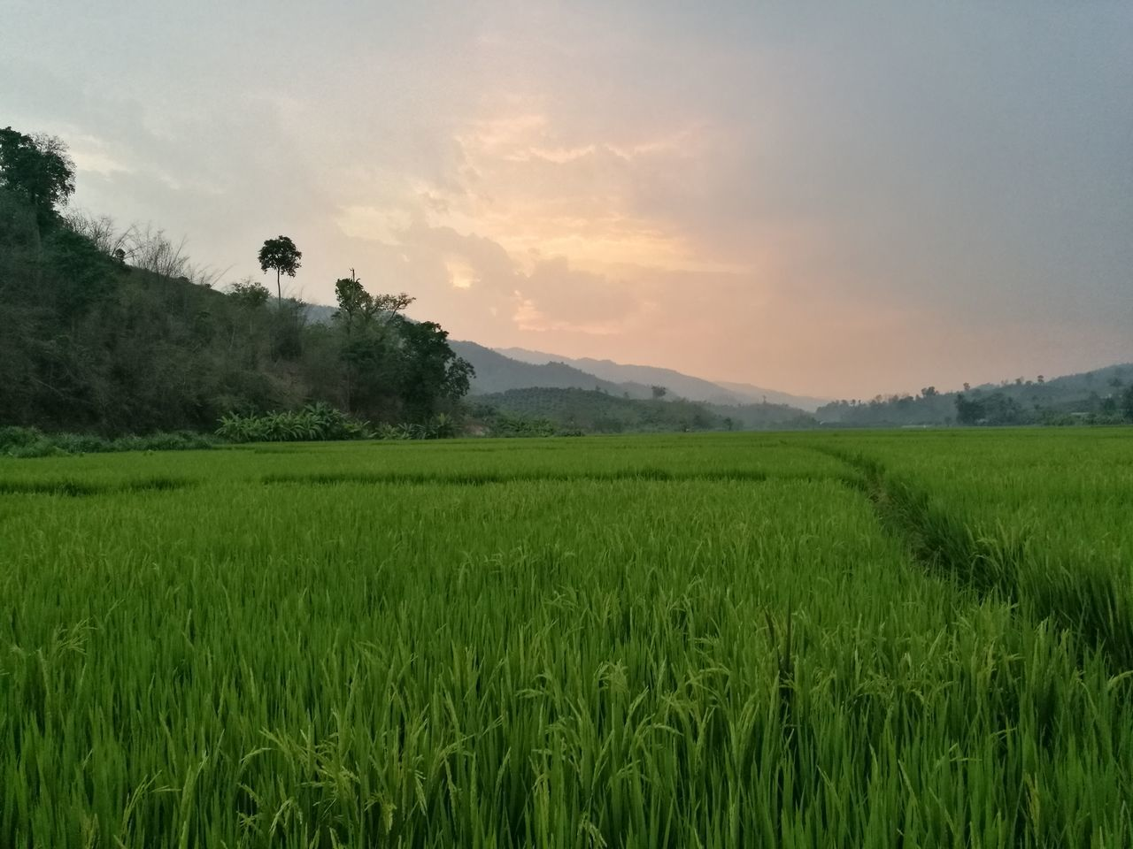 agriculture, field, growth, farm, nature, landscape, crop, tranquil scene, rural scene, beauty in nature, tranquility, green color, scenics, cultivated land, no people, sky, rice paddy, cereal plant, rice - cereal plant, outdoors, sunset, grass, tree, wheat, day