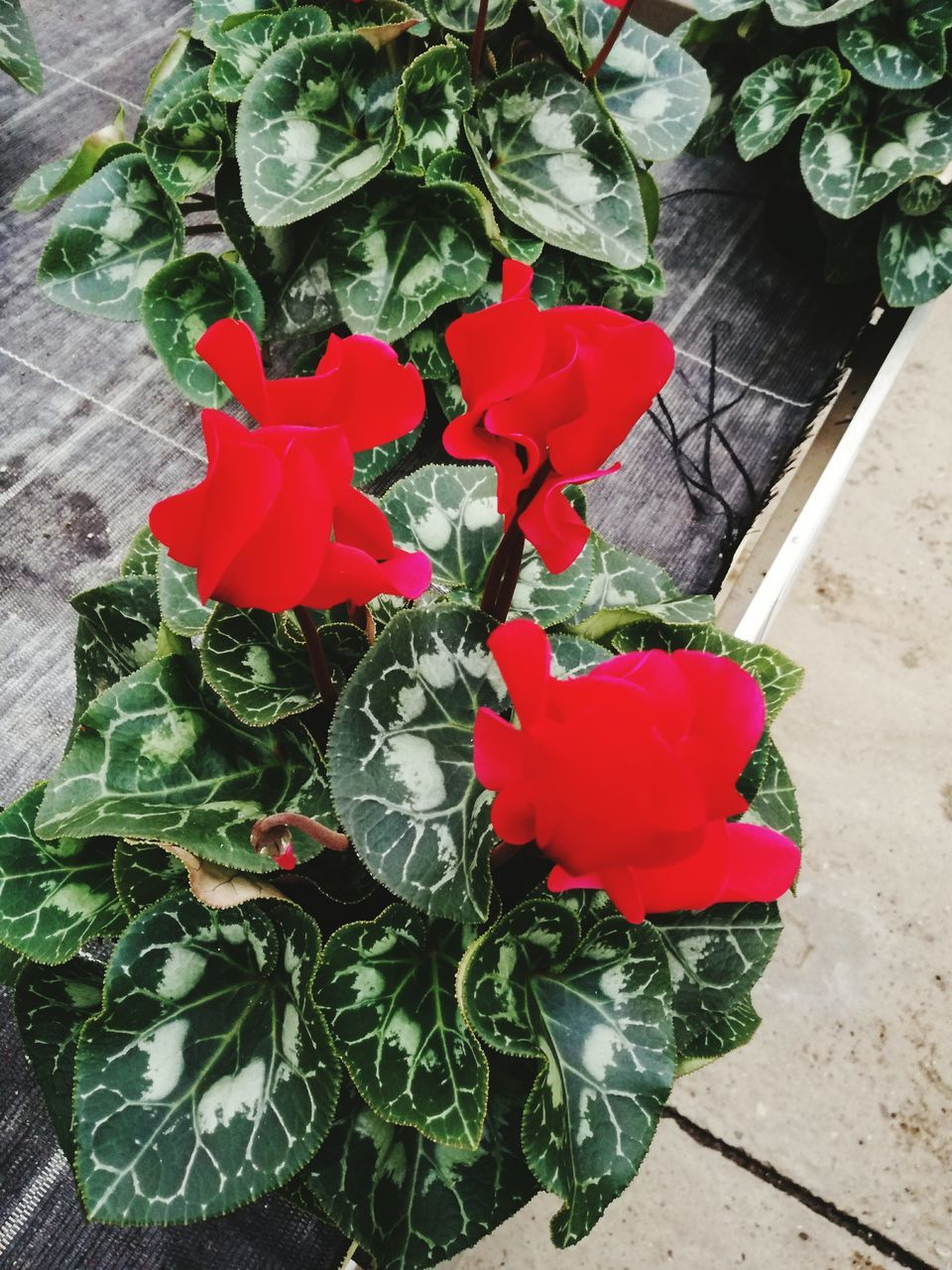 flower, petal, leaf, plant, growth, fragility, red, freshness, nature, rose - flower, high angle view, flower head, no people, beauty in nature, green color, love, day, blooming, outdoors, close-up, periwinkle