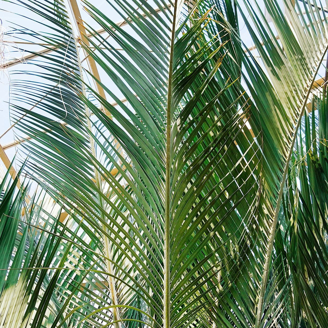 palm leaf, palm tree, nature, green color, frond, leaf, growth, beauty in nature, tree, day, full frame, plant, no people, low angle view, close-up, outdoors, bamboo - plant, backgrounds, bamboo grove, sky, freshness, fanned out