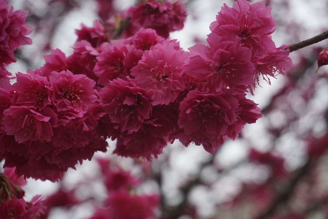 Low Angle View Of Pink Flowers Blooming On Branch