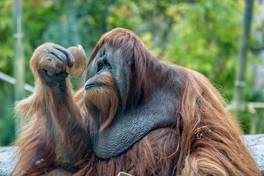 Orangutan (ape) eating fruits Ape Borneo Eating Endangered Species INDONESIA Orang-Utan Pongo Sumatra  UTAN Animal Themes Brown Close-up Day Expression Hairy  Mammal Monkey No People Orangutan Orangutans Outdoors P. Abelii P. Pygmaeus Rainforest Wildlife