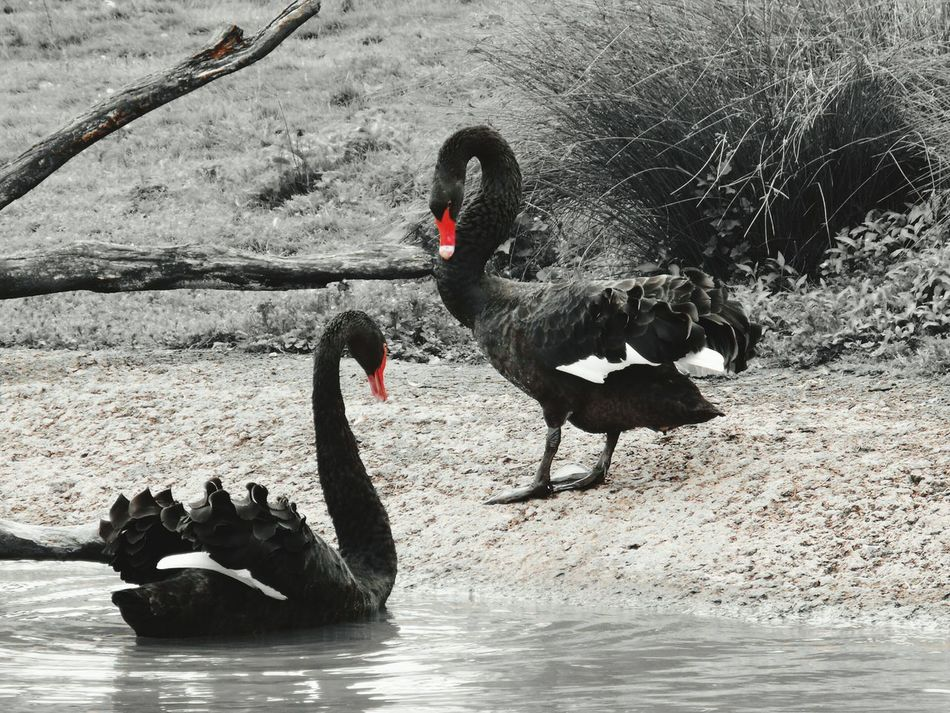 Black Swans Two Is Better Than One Nature Beauty In Nature