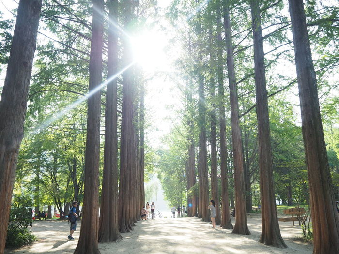 Day Footpath Forest Ligh & Light Light And Shadow Love Venu Low Angle View Mystery Nami Island Nami Island , Korea Outdoors Sunbeam Sunlight Sunlight Sunlight Through Trees Sunny Tall Trees The Way Forward Tree