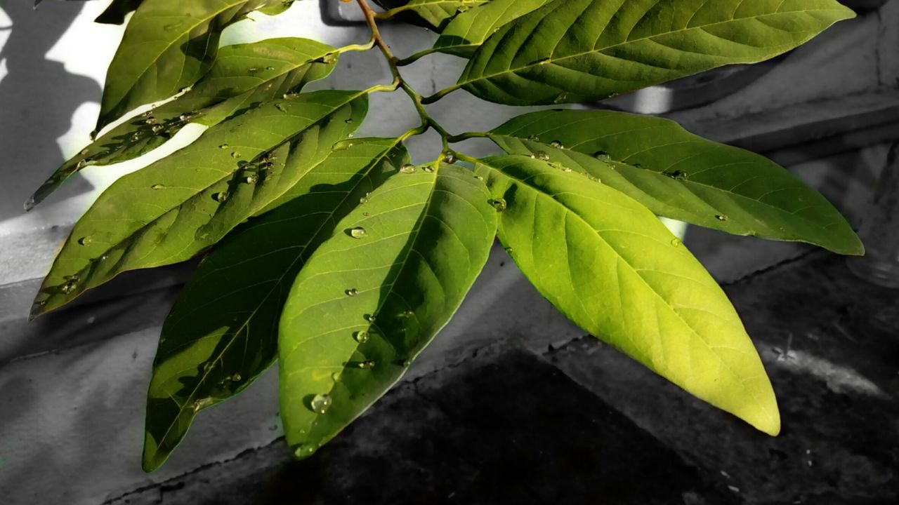 After rain ☔ Leaf Green Color Low Angle View Close-up Growth Green Nature Plant Leaf Vein Day Branch Outdoors Beauty In Nature Fragility Tranquility Freshness Botany Scenics No People Rain Drops Rain Drops On Leaves Colorsplash