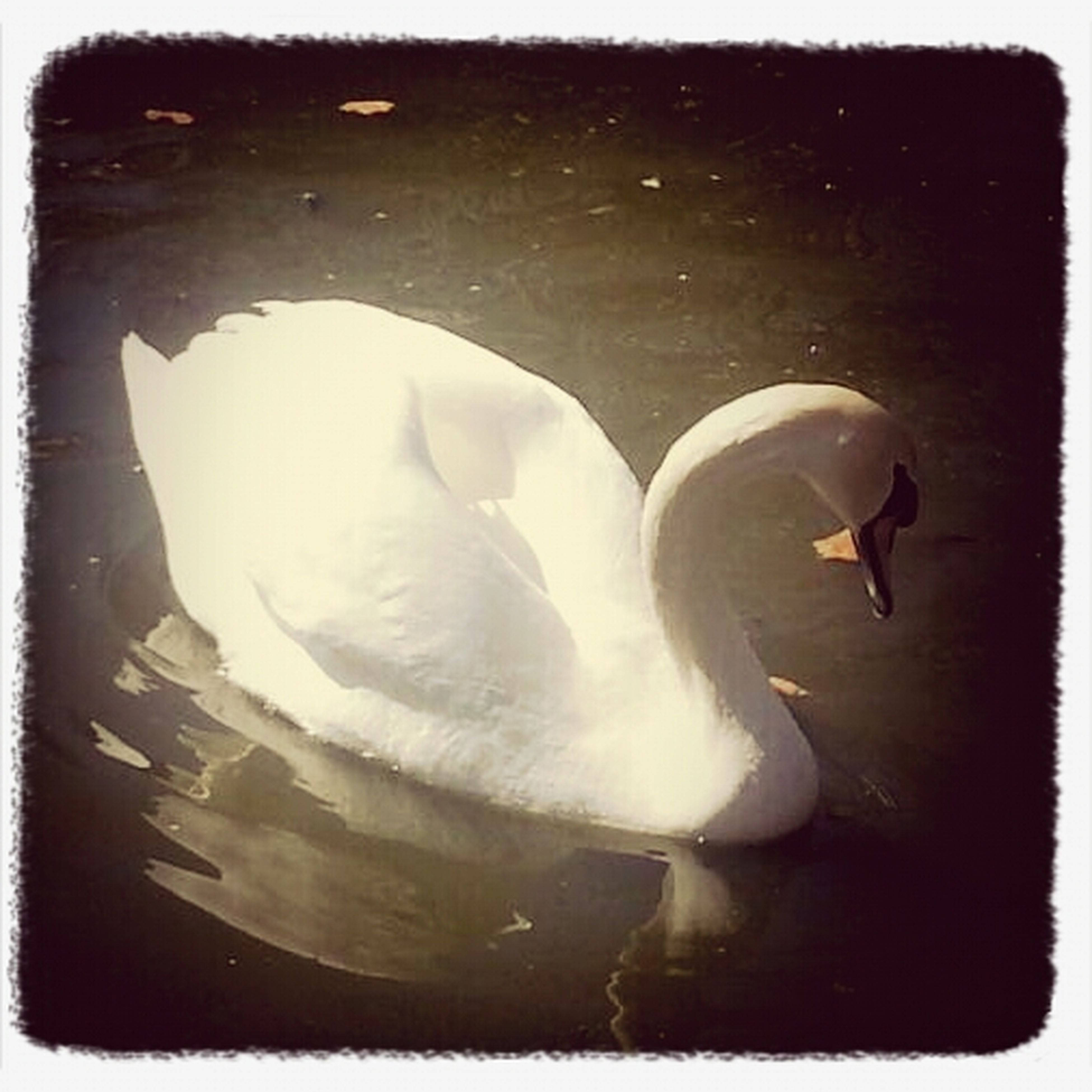 Think Of My Beautiful Angel Of A Woman Everytime I See A Swan