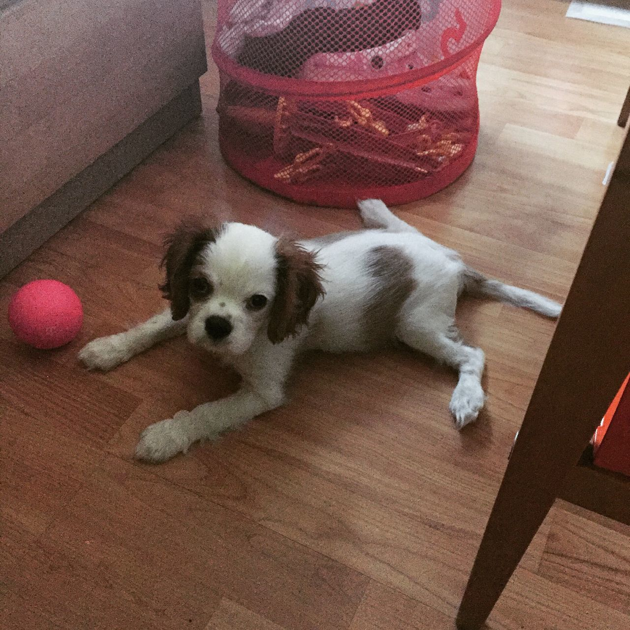 Pets Domestic Animals One Animal Mammal Animal Themes Home Interior Lying Down Indoors  Dog No People Close-up Day Cavalier King Charles Spaniel Puppy Puppy Love Ckcs
