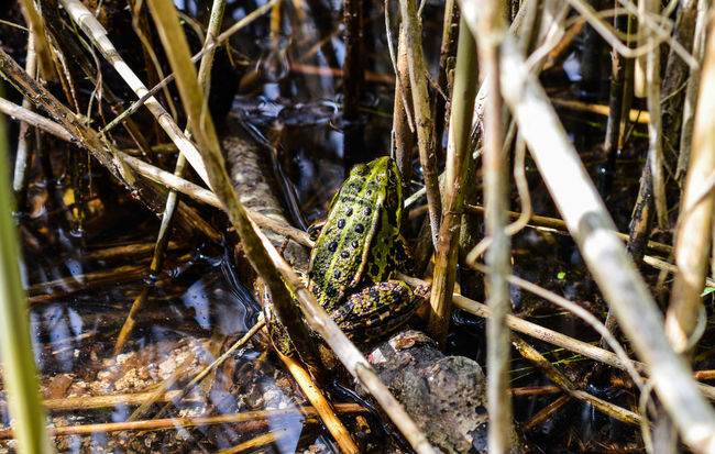 Frog or toad in disguise sitting on its hiding spot... Frog Frogs Froggy Lake Pond Pond Life One Animal Animal Animals Animals In The Wild Animal_collection Hiding In Disguise Beauty In Nature Nature Nature_collection Nature Photography Exploring Encounter Wildlife Wildlife & Nature The Great Outdoors - 2016 EyeEm Awards Germany Reed Outdoors