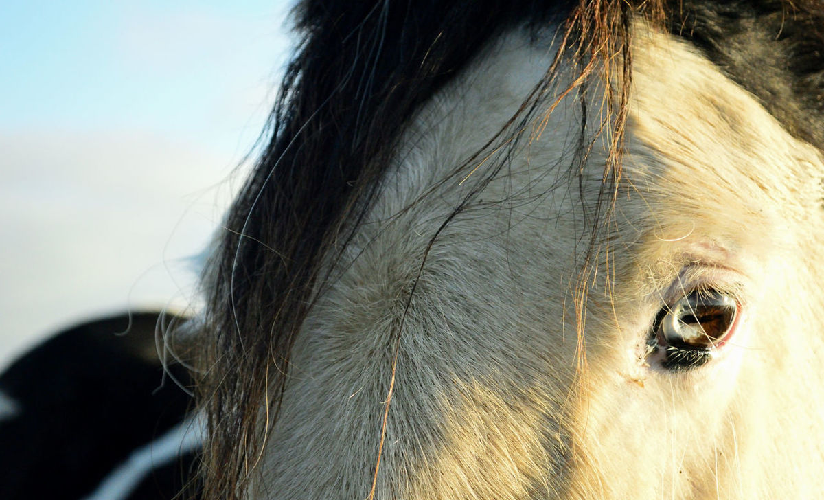Animal Body Part Animal Eye Animal Head  Animal Themes Blue Eye Close-up Day Domestic Animals HEAD Horse Horse Eye Livestock Mammal Nature No People One Animal Outdoors Portrait Vision