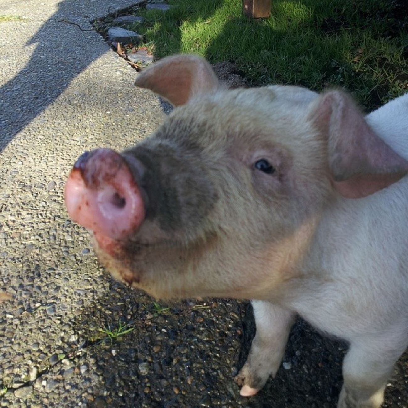 HarmonThePig Cheezin for the camera... BaconInTraining Oink squeal FarmanimalsForPets cutelittlepiggie