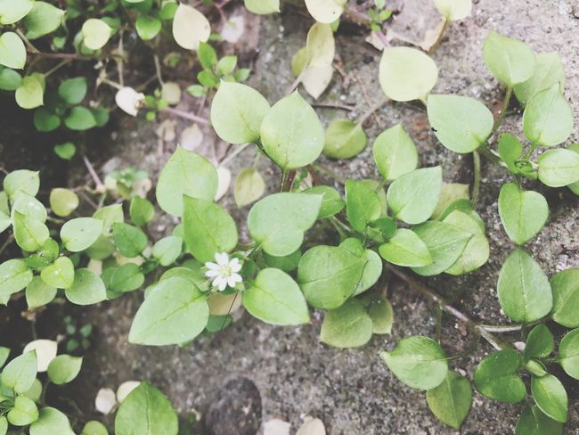 Leaf Plant Growth Green Color Nature High Angle View No People Clover Outdoors Freshness Day Beauty In Nature Close-up