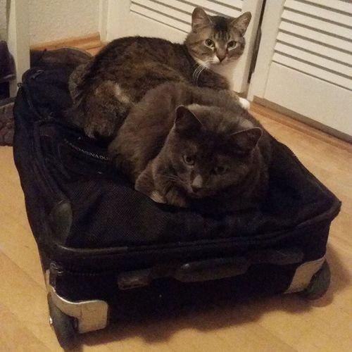 """Ich: """"Kannst du mal bitte deinen Koffer wegräumen?"""" Freund: """"Ähm... ich glaube, das geht nicht. Der ist besetzt!"""" Verrückte Katzen 😸 Tshaga_the_cat Wassilita_the_cat"""