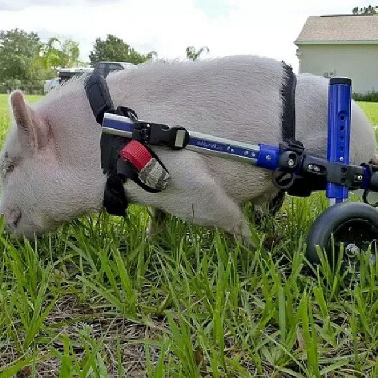 Don't know what to think about this, seeing that I had bacon this morning. Lol 2leggedpig Cute ? Sad