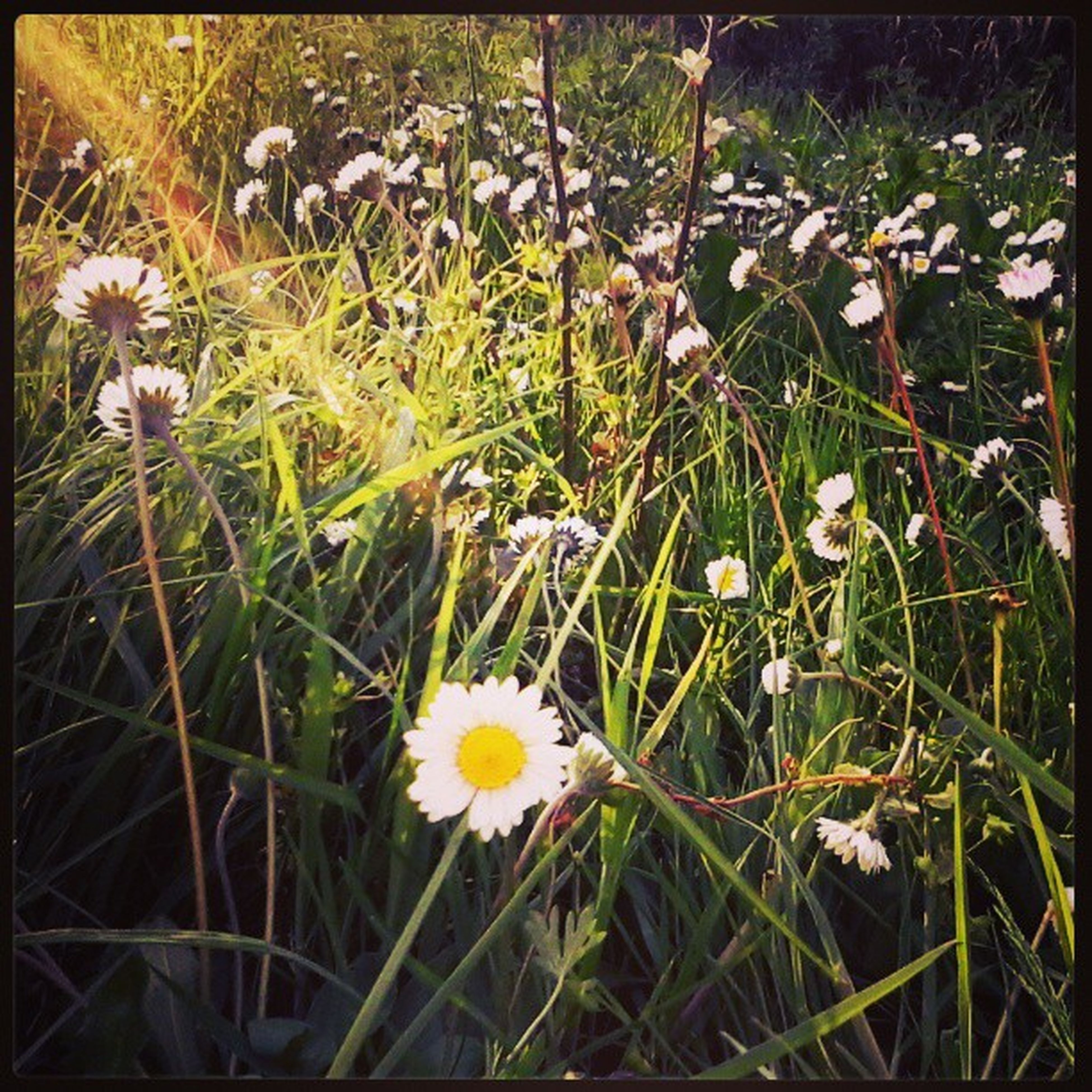 Spring Photograph Photo Photooftheday primavera picoftheday margherita margherite prato mare erba flowers flower followme follow sole sun marano coriano rimini italy italia