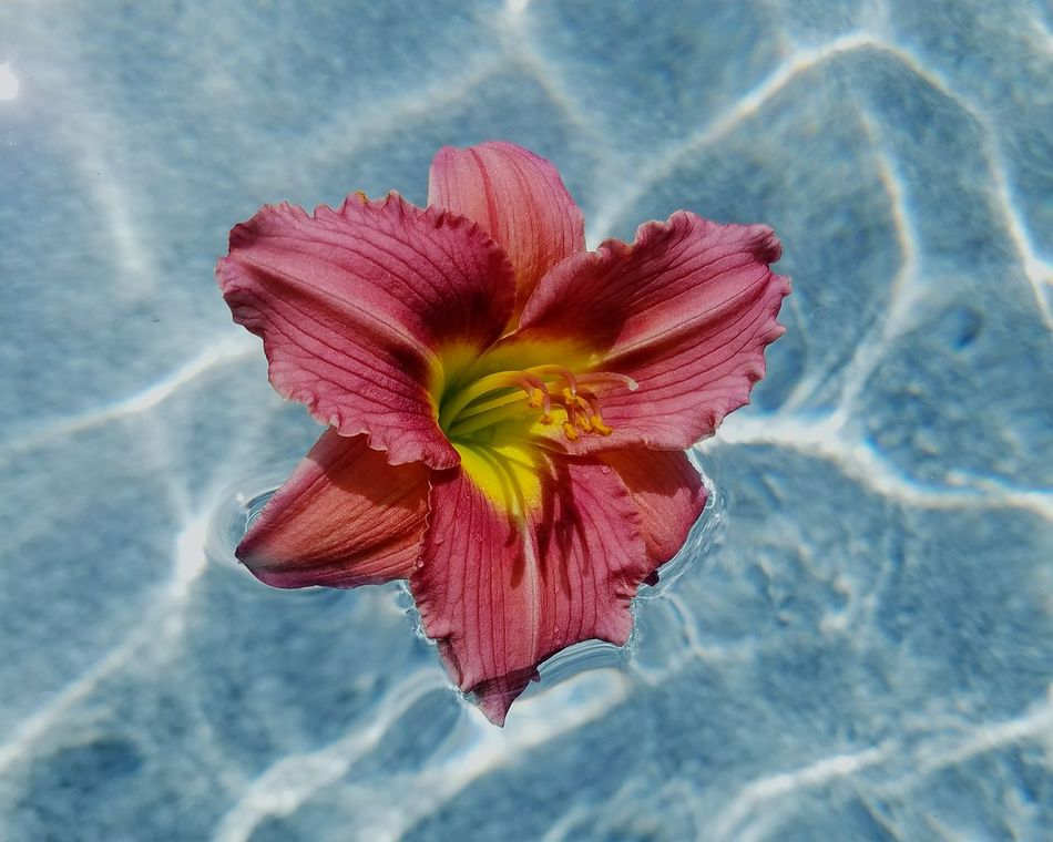 Flower Flowers Water Pool Water Reflection Summer Views Showcase Showcase:June Pink Pink Flower Colors Of Summer Summer Colors Summer Color