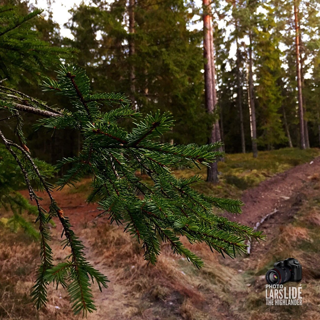 Tree Forest Pine Tree Nature Growth Outdoors No People Landscape Beauty In Nature Close-up Winter Taking Photos Cold Temperature
