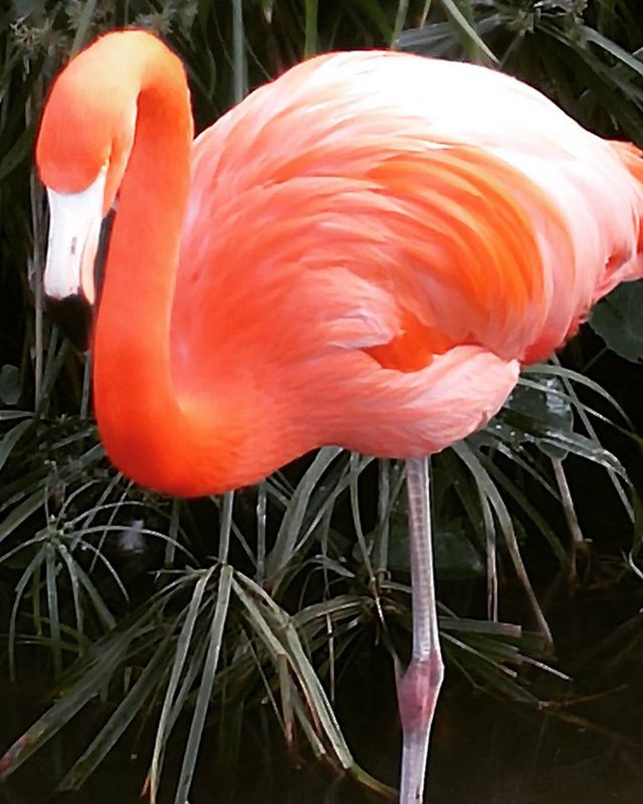 Flamingo Color Contrast Florida Primeshots Igpowerclub Picoftheday Igprimeshots Fiftyshades_of_nature Colorexplosion Photography