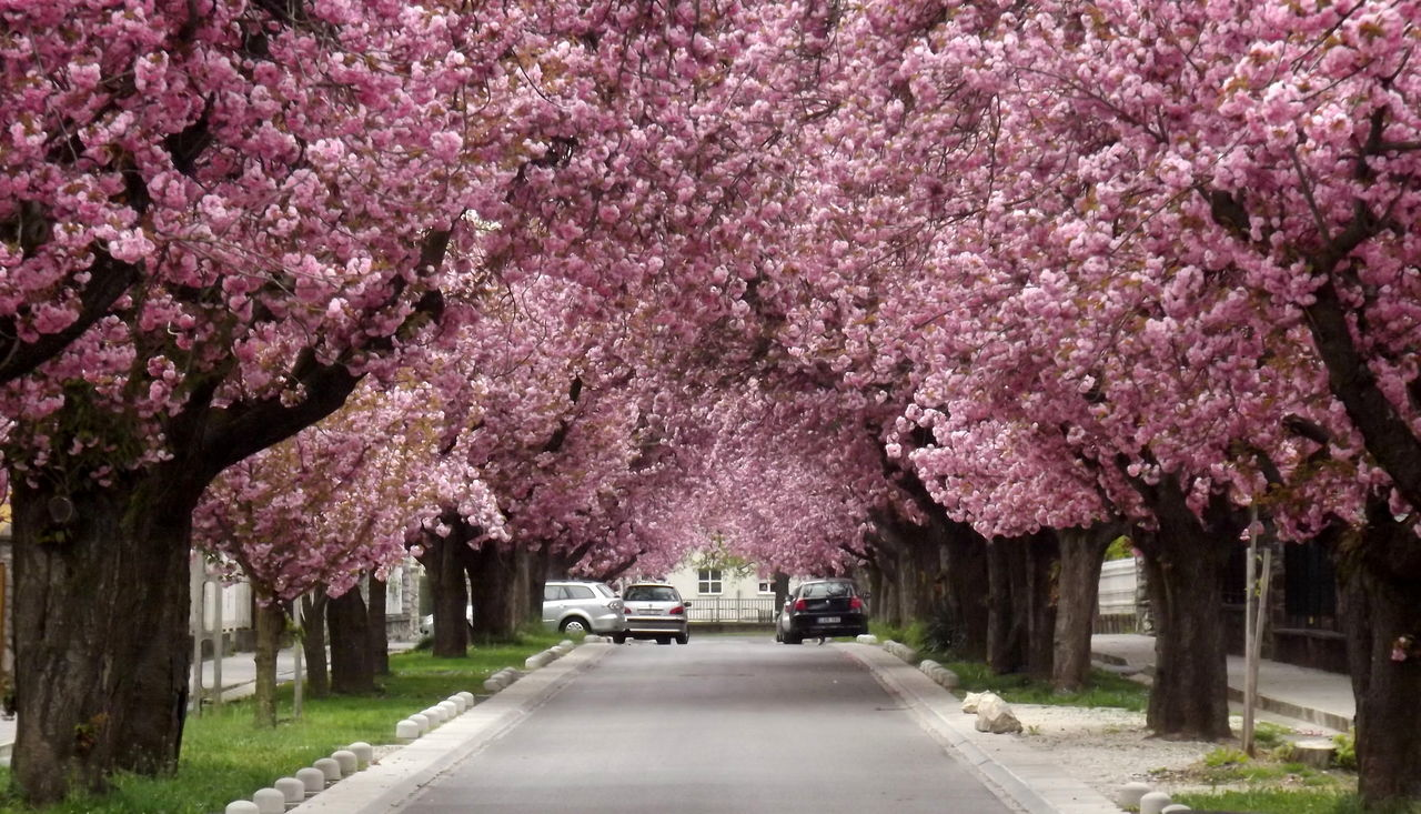tree, flower, blossom, cherry blossom, cherry tree, springtime, pink color, nature, beauty in nature, road, orchard, branch, fragility, day, no people, transportation, outdoors, the way forward, growth, scenics, freshness