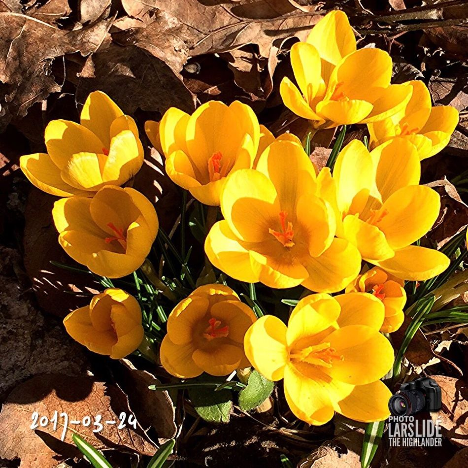 Nature Yellow Beauty In Nature Flower Close-up Outdoors Plant Freshness Day Springtime