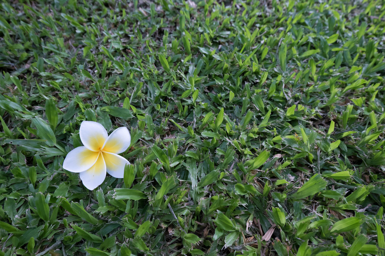 flower, petal, growth, beauty in nature, flower head, blooming, fragility, white color, nature, plant, green color, freshness, field, day, high angle view, frangipani, outdoors, no people, leaf, close-up, periwinkle