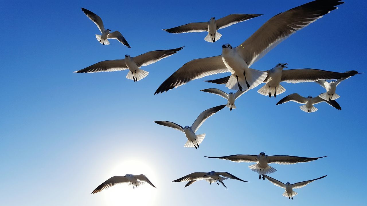 I love the shape, shadows and lighting of these seagulls against the blue sky and sunshine Flying Bird Animal Wildlife Animals In The Wild Animal Themes Low Angle View Flock Of Birds Outdoors Large Group Of Animals Mid-air Day No People Clear Sky Spread Wings Motion Sky Cellphone Photography Nature Flight Seagulls Clear Sky Birds