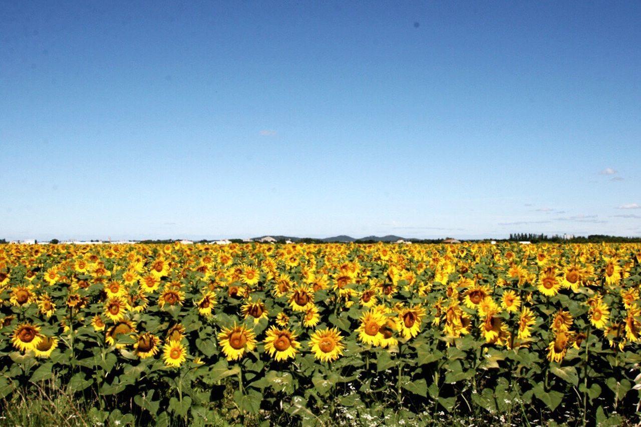 Sunflower in france Sunflower France France Avignon