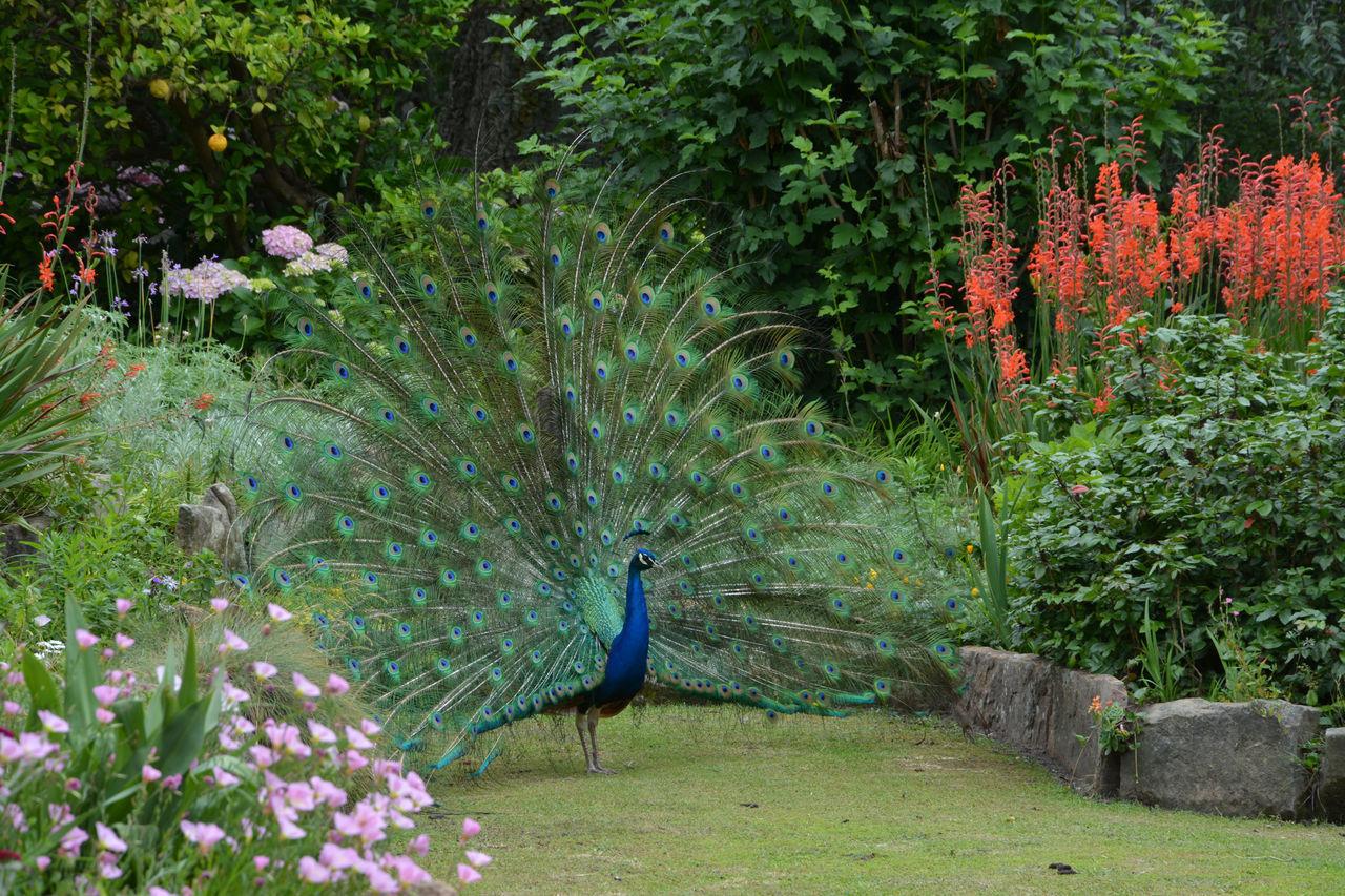 Beautiful stock photos of peacock, Animal Themes, Animals In The Wild, Bird, Day