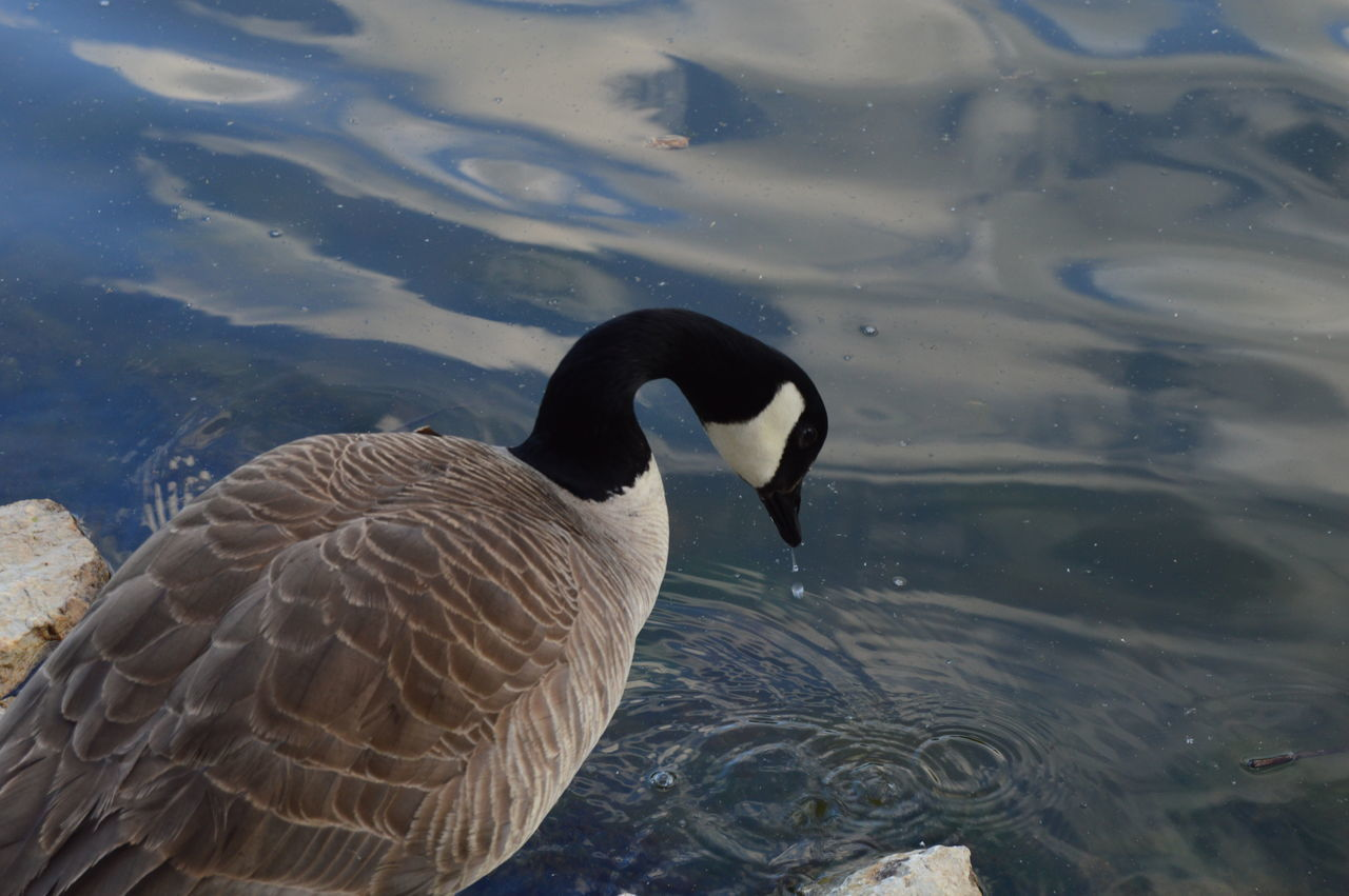 animal themes, animals in the wild, water, one animal, swimming, lake, animal wildlife, bird, waterfront, day, high angle view, nature, no people, outdoors, swan, close-up