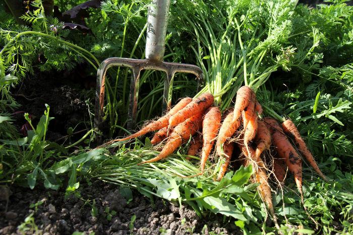 Anbau Aufgraben Bioanbau Day Food Food And Drink Freshness Healthy Eating Mohrrüben Möhren Nature No People Outdoors Root Vegetable Wurzelgemüse Wurzeln