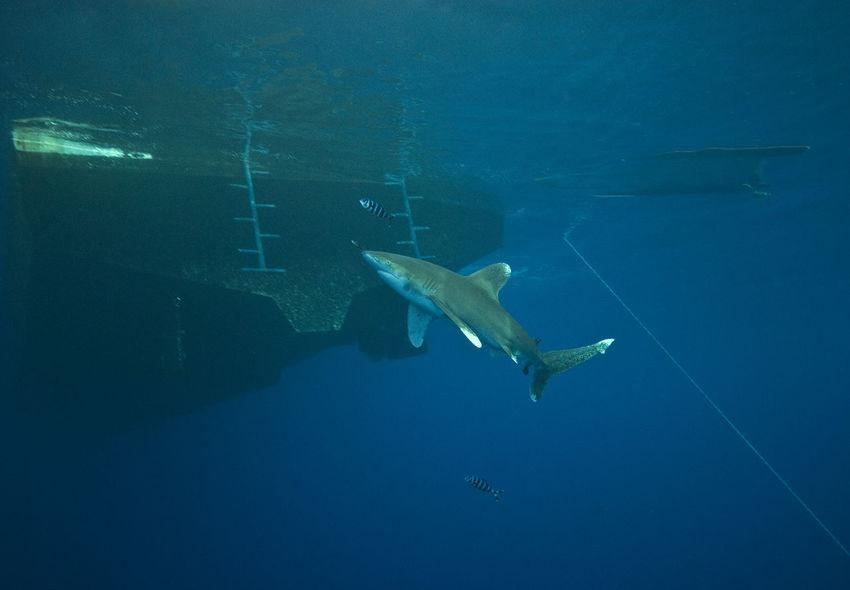 Oceanic white tip shark Carcharhinus Longimanus Nature Ocean Oceanic Oceanic Shark Oceanic White Tip Shark Red Sea Sea Life Shark And Boat Surface UnderSea Underwater Water