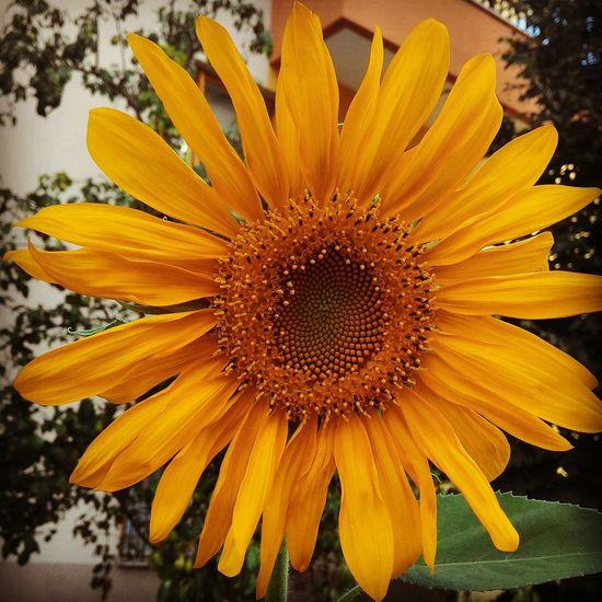 The sun in my garden. Sunflower🌻 Flower Garden Sunphotography