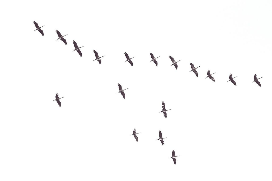 Crane Birds Flock Of Birds Bird Birds Birds_collection Birdwatching Flying Animal Themes Animal_collection Outdoors No People Togetherness Nature Beauty In Nature EyeEm Nature Lover Nature Collection Taking Photos Taking Pictures Sky Sky Collection Lookingup Let's Go. Together.