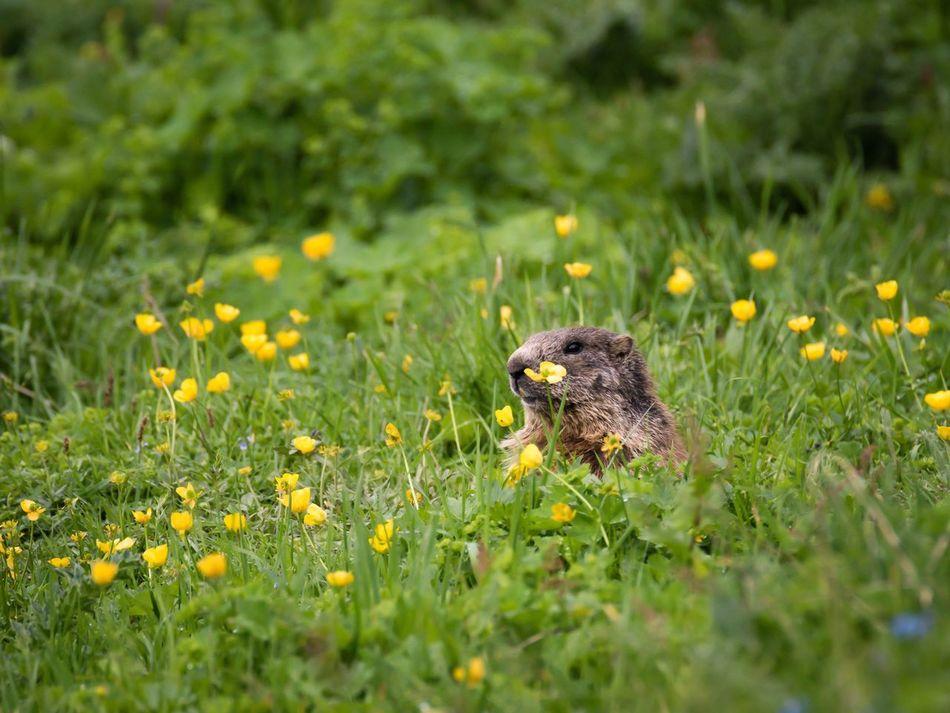 Marmot Murmeltier Nebelhorn Allgäu Nebelhorn Oberstdorf Bayern Bavaria Bayern Germany Germany Wildlife Wildlife Photography Wildlife & Nature No People Nature Animals In The Wild Animals One Animal Animals In The Wild