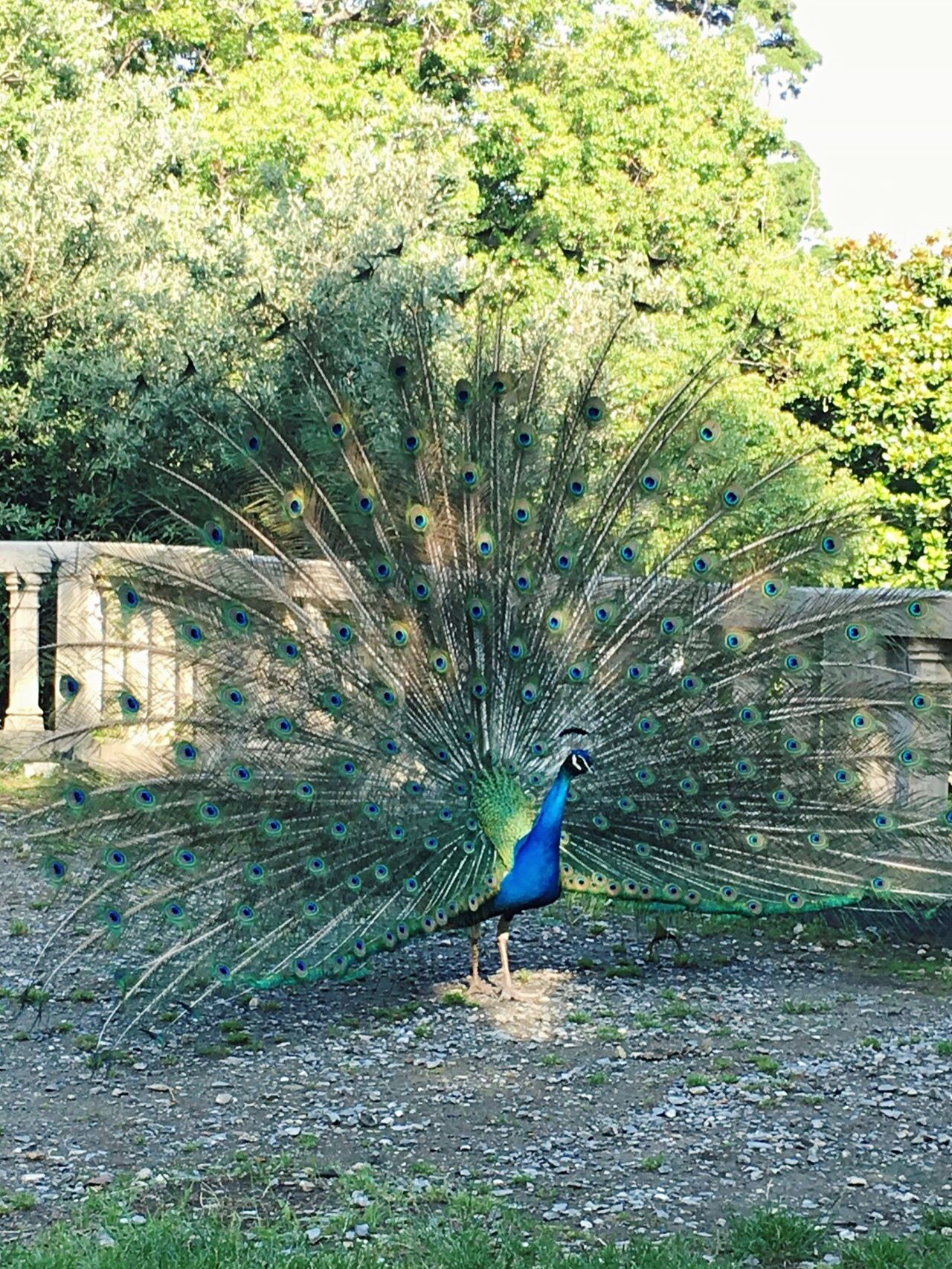 Peacock in the city Bird One Animal Nature Outdoors Animals In The Wild Day Peacock No People Animal Themes Grass Beauty In Nature Fanned Out Perfect Adapted To The City