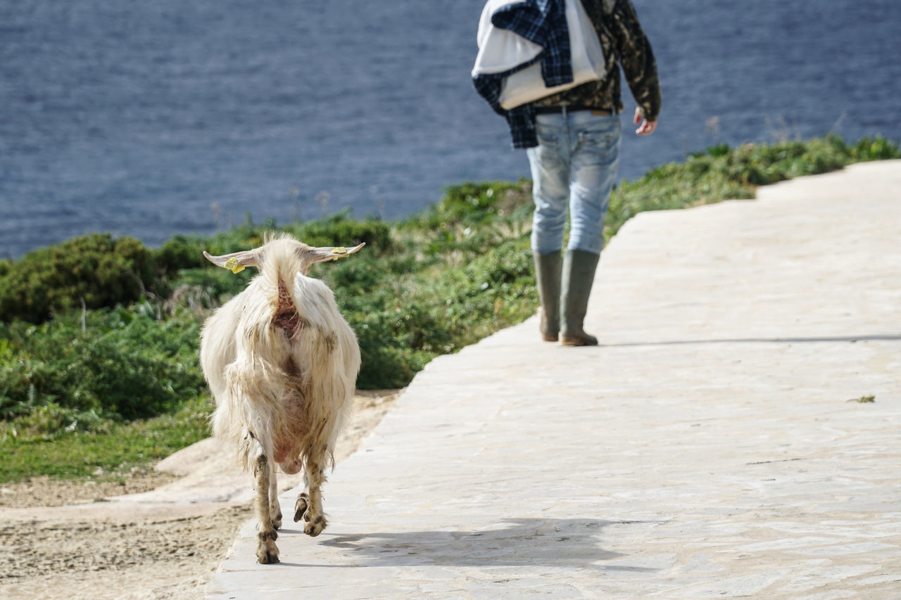 Goat trails / follows shepherd in sunny day next to the sea Animal Back Countryside Dirty Domestic Animals Farm Farm Life Farmland Field Fields Follow Following Goat Human Mammal Man Nanny-goat Sea She-goat Shepherd Summer Track Trail Trailing Watter