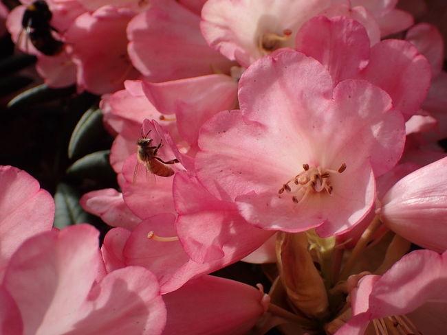 Bee On Flower. Collecting Pollen Bee Close-up Flower Flower Head Fragility Growth Petal Pollen Pollination Stamen