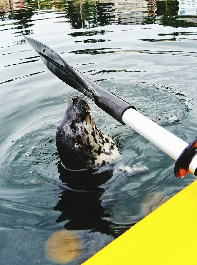 Check This Out Wildlife Kayak Seals Harbor Seals Baby Seal Boating Animal Photography Kayaking In Nature Sealife Travel Photography Animals In The Wild Beautiful Beauty In Nature Simple Beauty Curiosity Curious Curious Animals Creature Close EncountersMindfulness Ocean Boatinglife