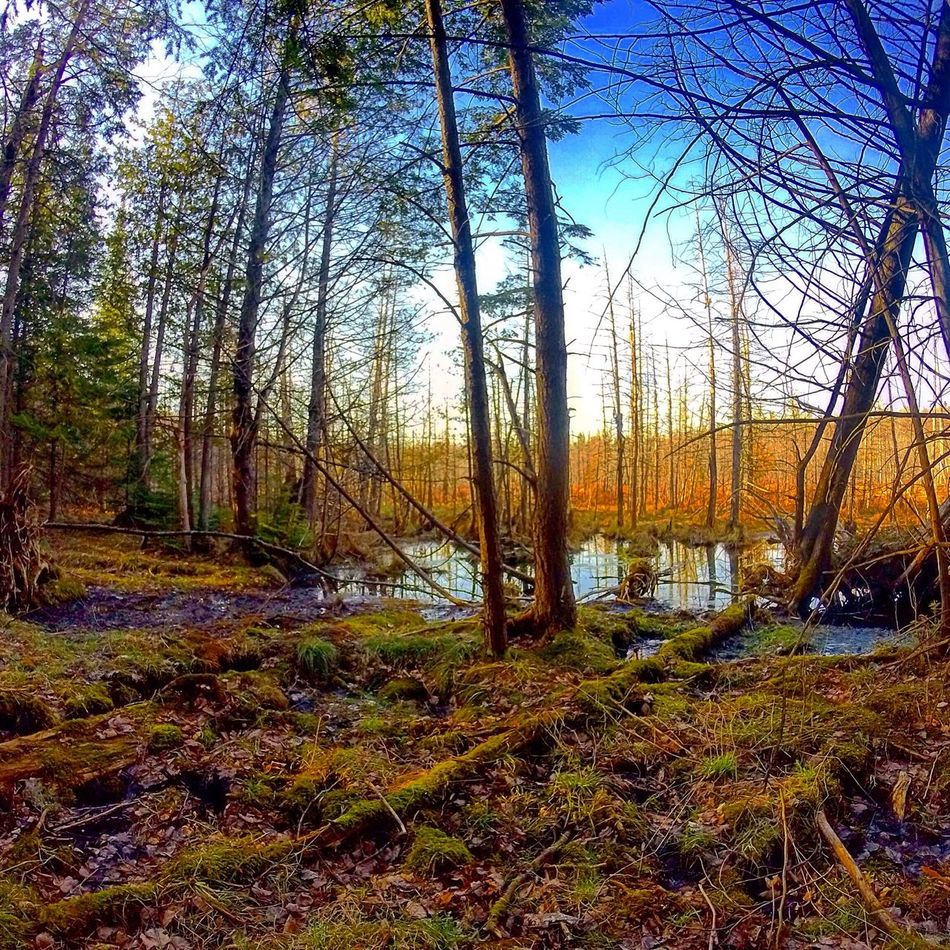 Swamp Swamplands Swampland Photography Get Outside Nature Pure Michigan Nature Photography Natural Beauty Telling Stories Differently TreePorn Trees Outdoors Photograpghy  Outdoors The Great Outdoors With Adobe The Great Outdoors - 2016 EyeEm Awards